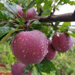 Habban Valley Apple Farm