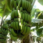Agricos Organic