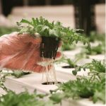 UrbanRoots Hydroponic Produce
